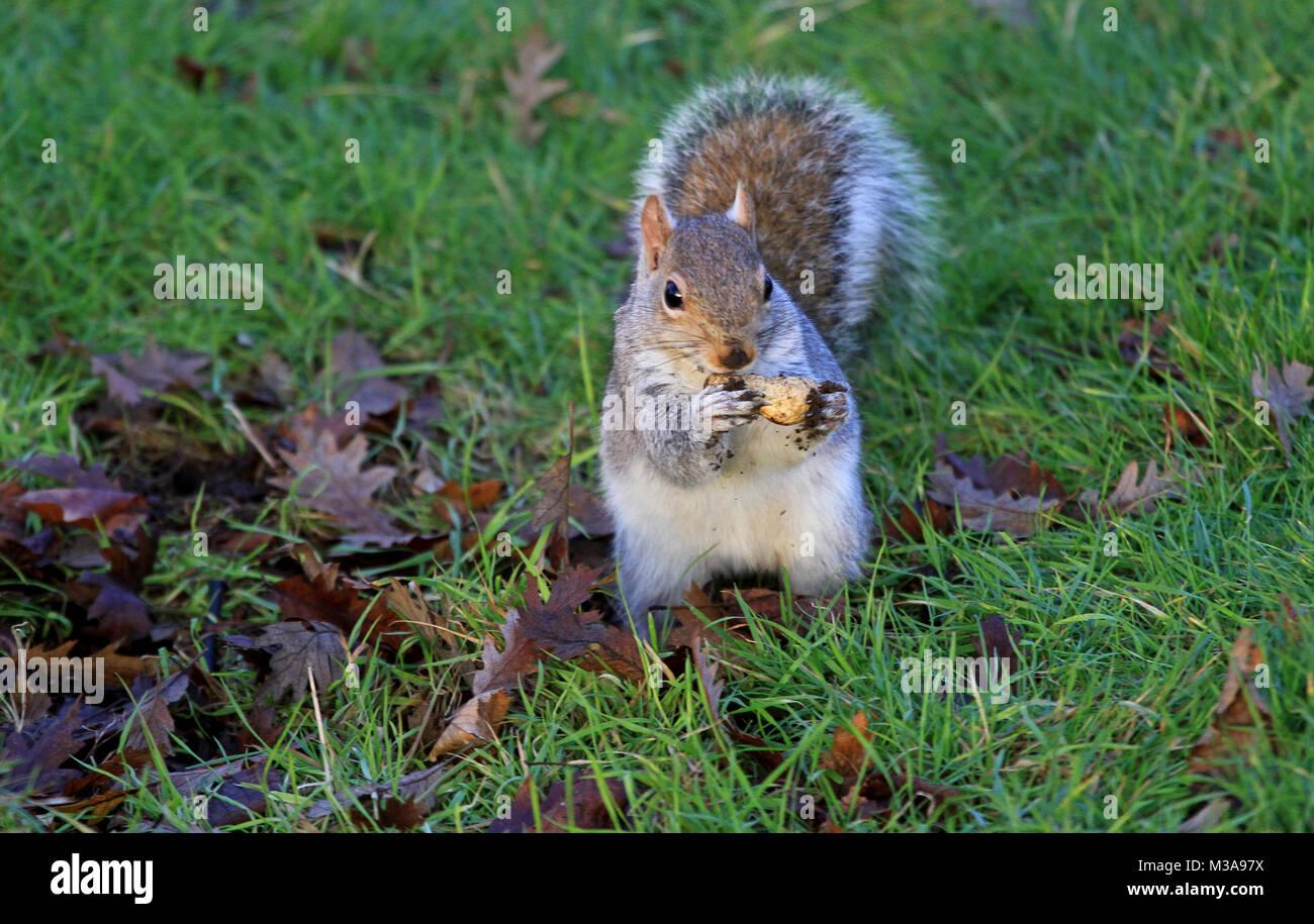 Eaiting petit écureuil gris de l'écrou sur la pelouse du parc Photo Stock