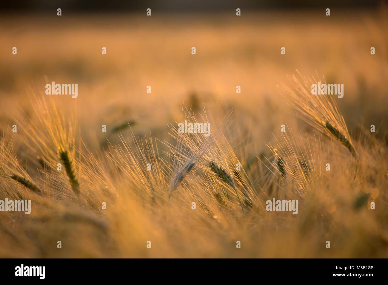 Les semis de seigle, labourer les terres Photo Stock