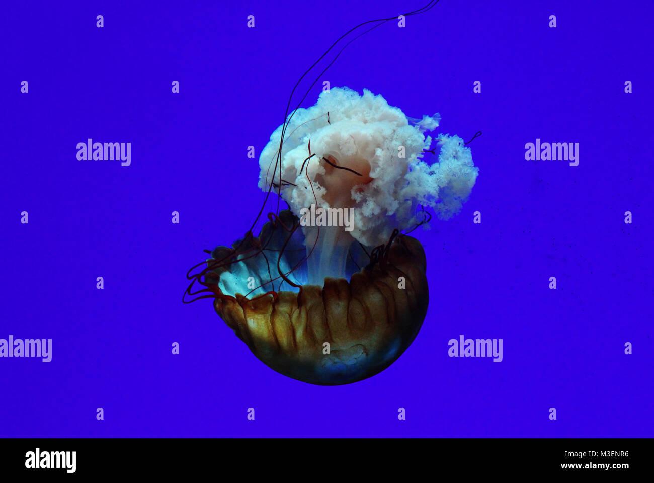 Les Méduses isolées dans l'eau d'un bleu profond Photo Stock