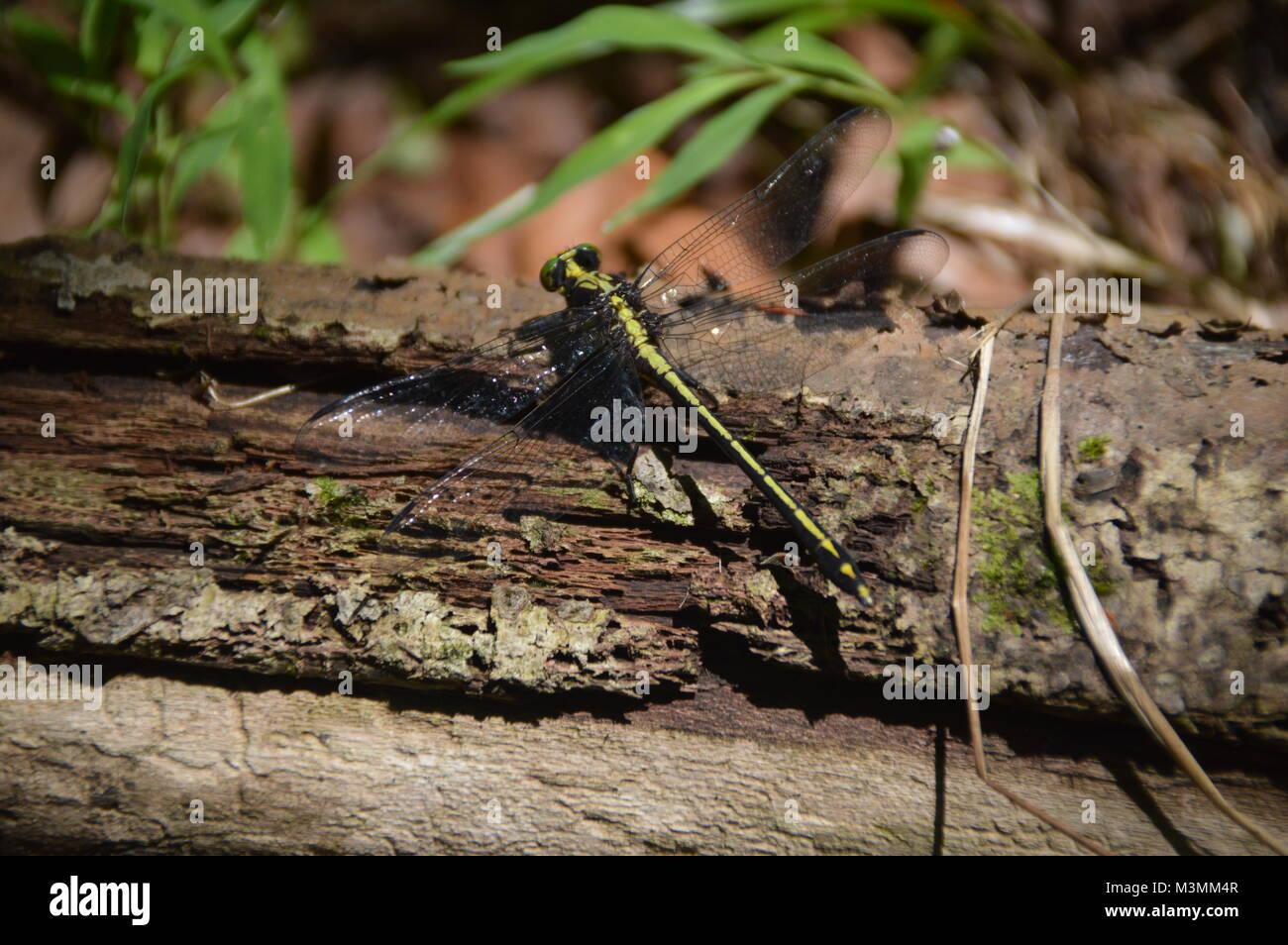Un livre vert et noir Dragonfly on log avec quelques greenage dans le fond de la photo. Photo Stock