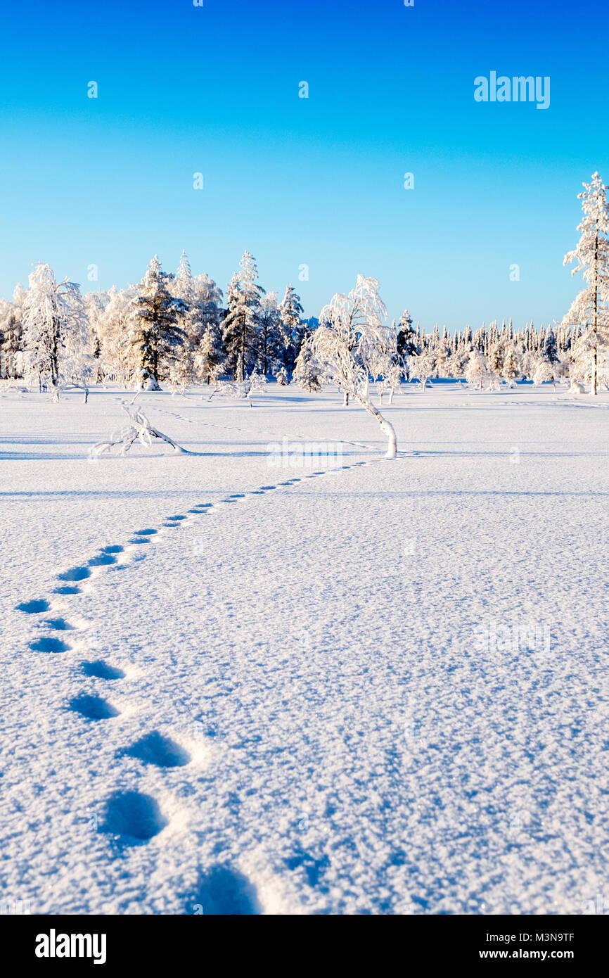 Enneigé des forêts du nord de la Finlande Photo Stock