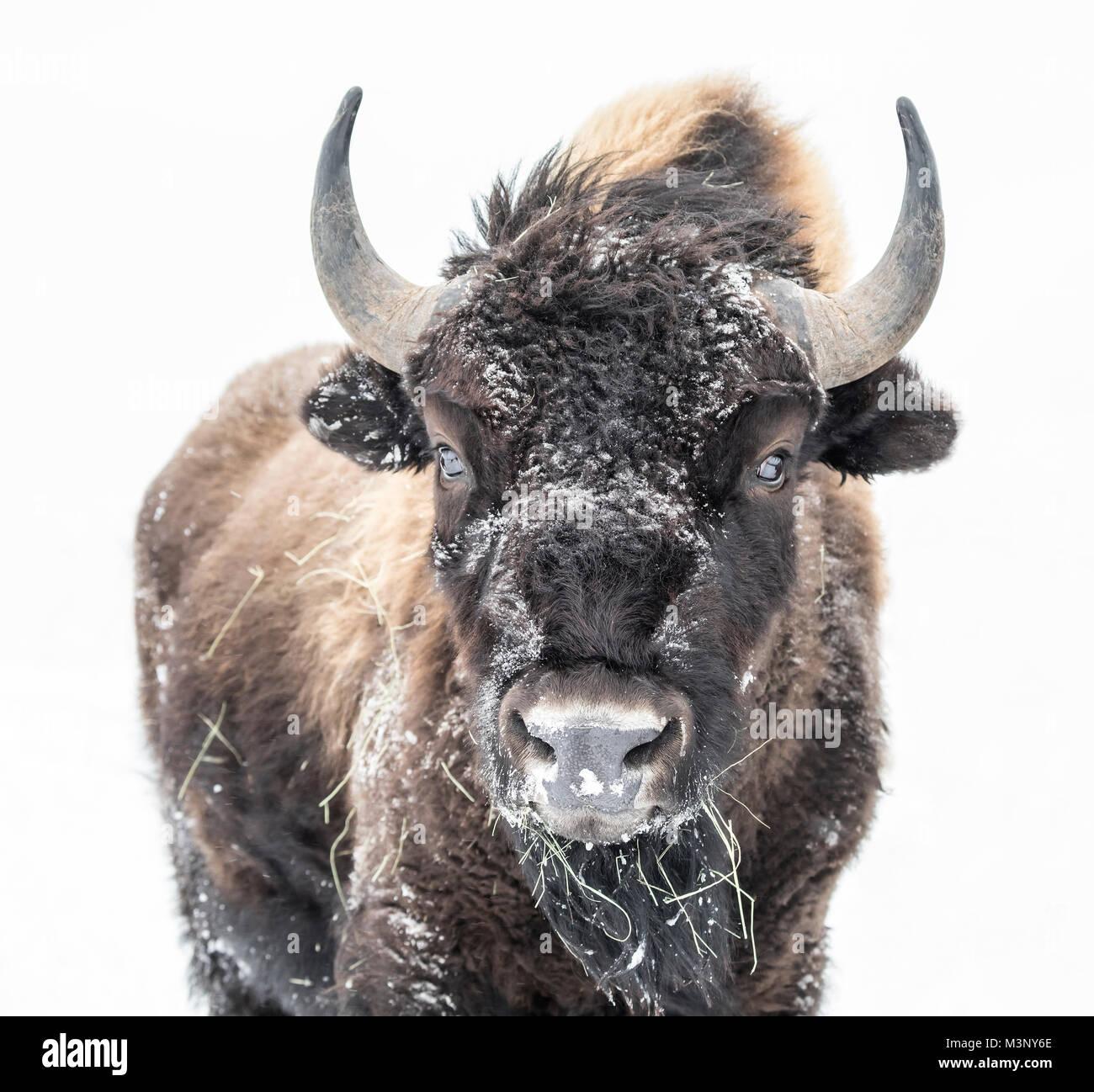 Le bison des plaines (Bison bison bison) ou American Buffalo, en hiver, le parc national du Mont-Riding, Manitoba, Photo Stock