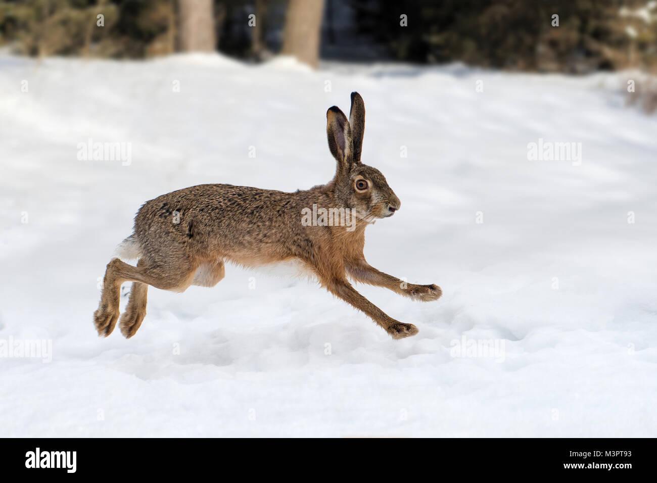 Lièvre d'exécution dans la forêt d'hiver Photo Stock