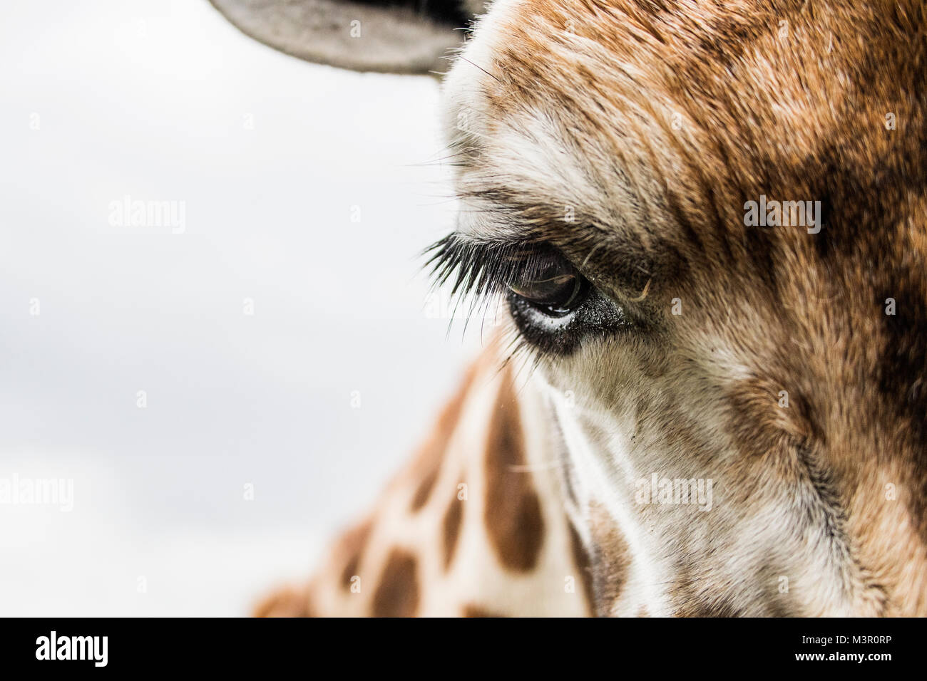 En vous regardant, Close up jeune girafe Photo Stock