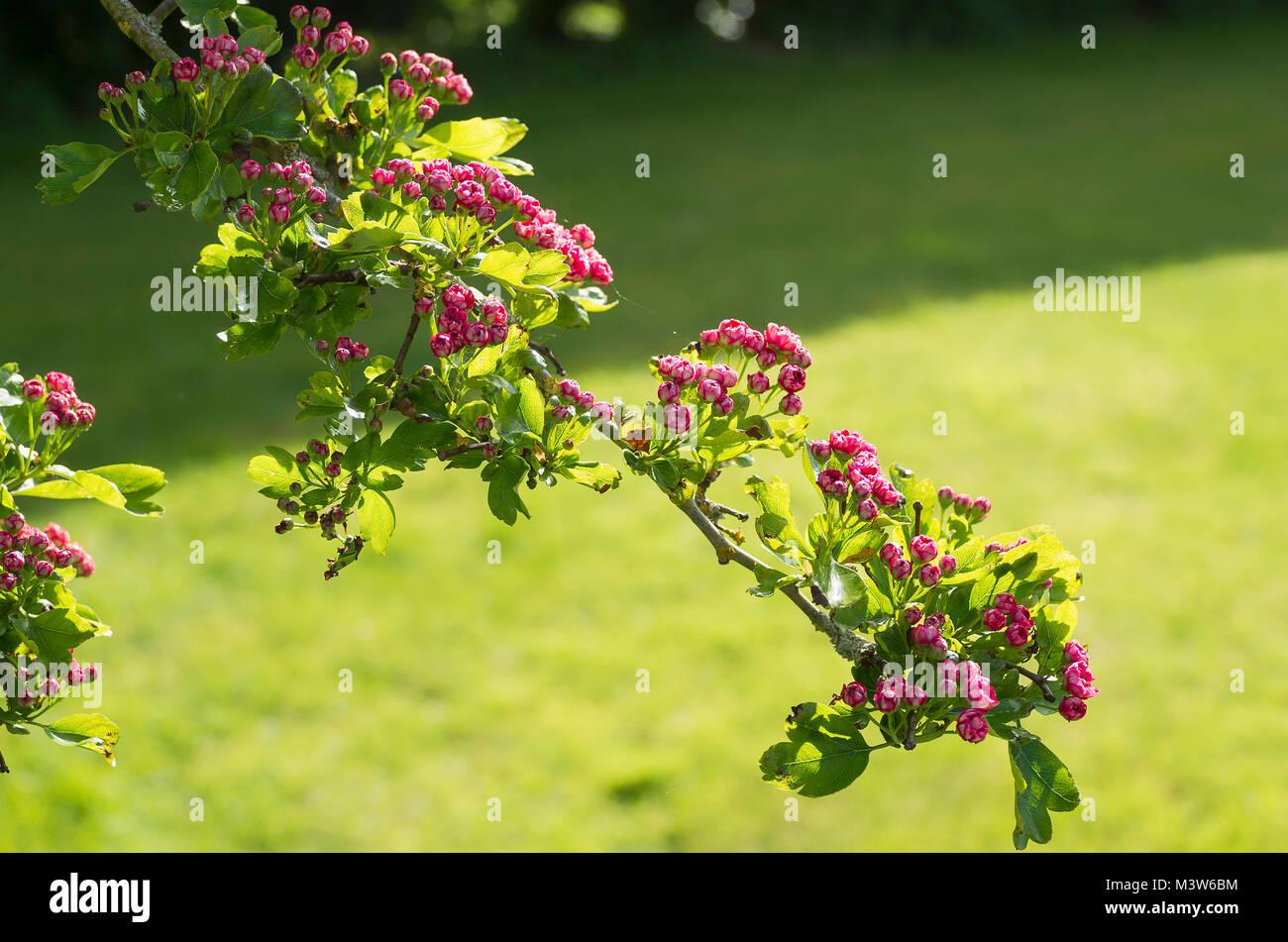 Petite chambre double rose fleur de bourgeons d\'aubépine ...