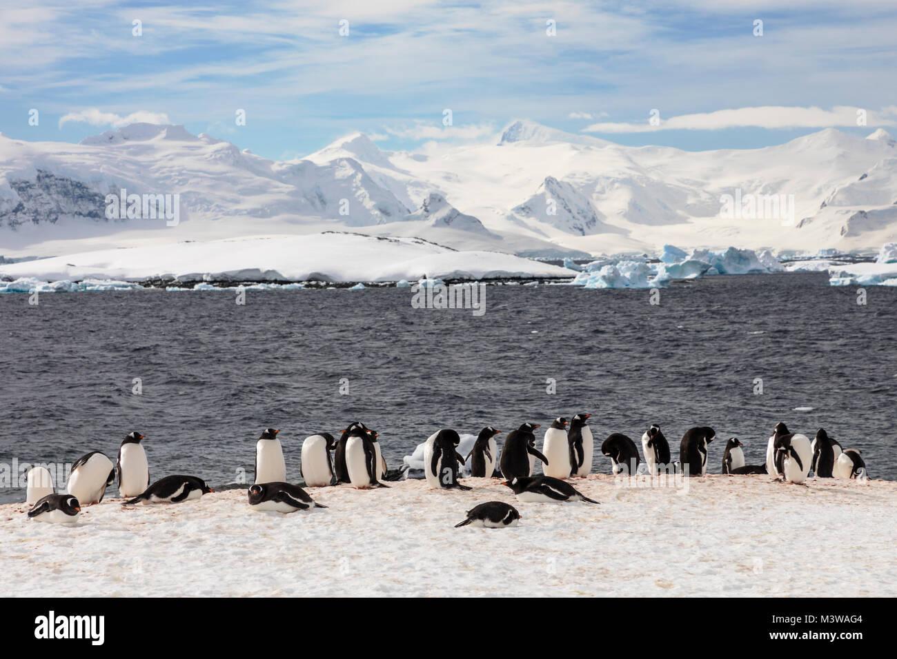 Gentoo pingouin à longue queue; Pygoscelis papua; Rongé; île de la péninsule Photo Stock