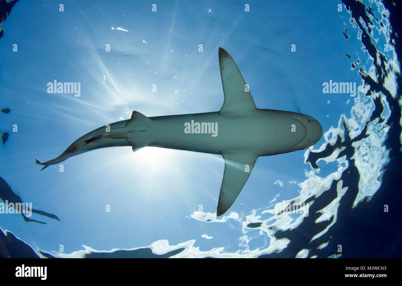 Les requins des Galapagos sont une des espèces les plus communes au large de la côte nord d'Oahu Photo Stock