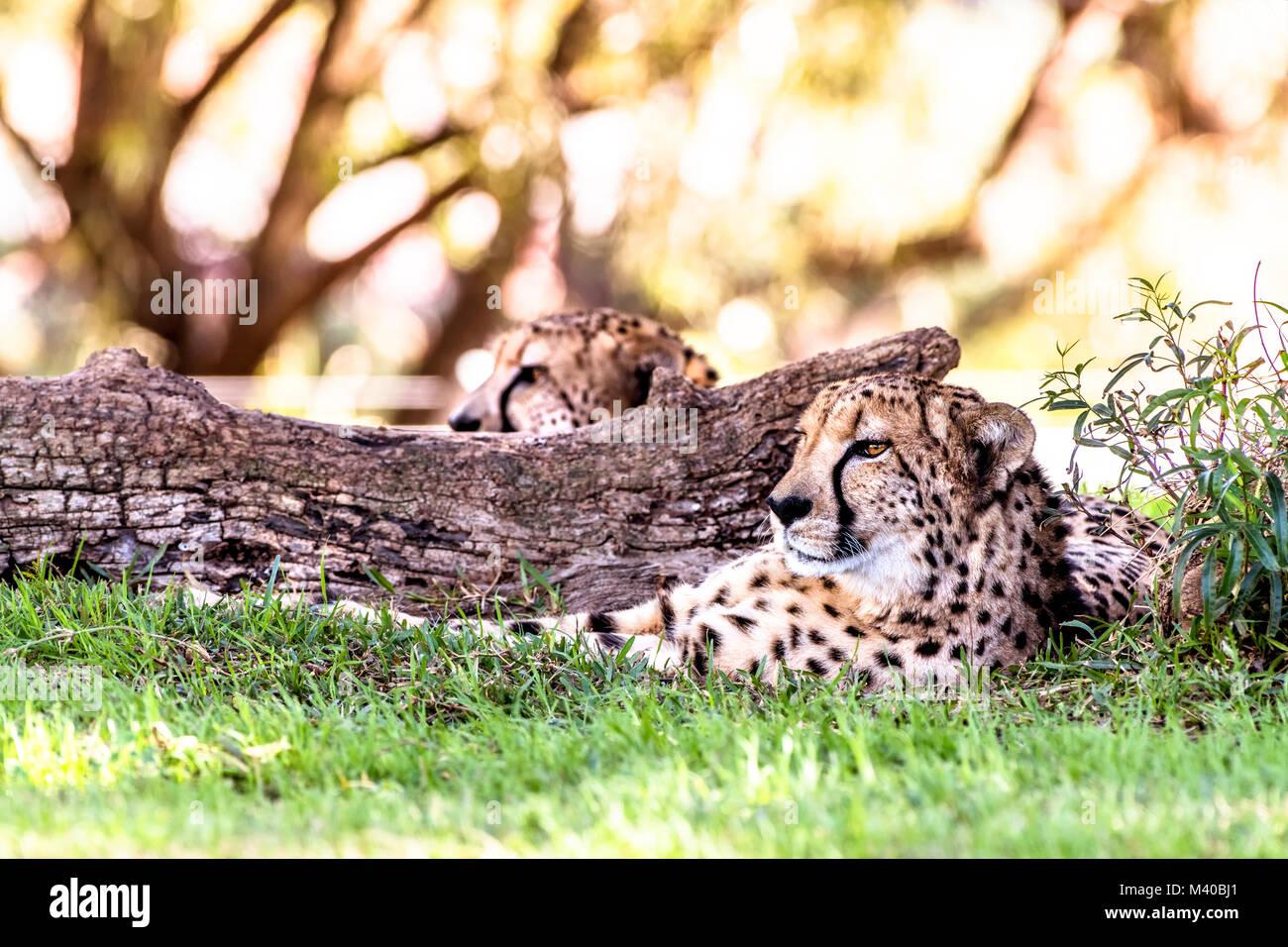 Un puissant et rapide guépard repose à côté d'un log dans une zone d'ombre au cours d'un safari Banque D'Images