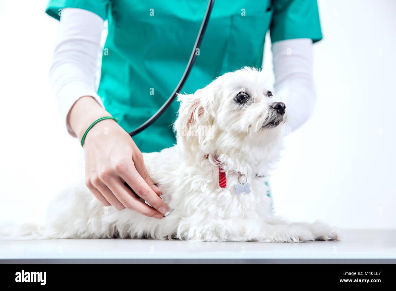 Un examinates efp méconnaissable chien à l'aide d'un stéthoscope Photo Stock