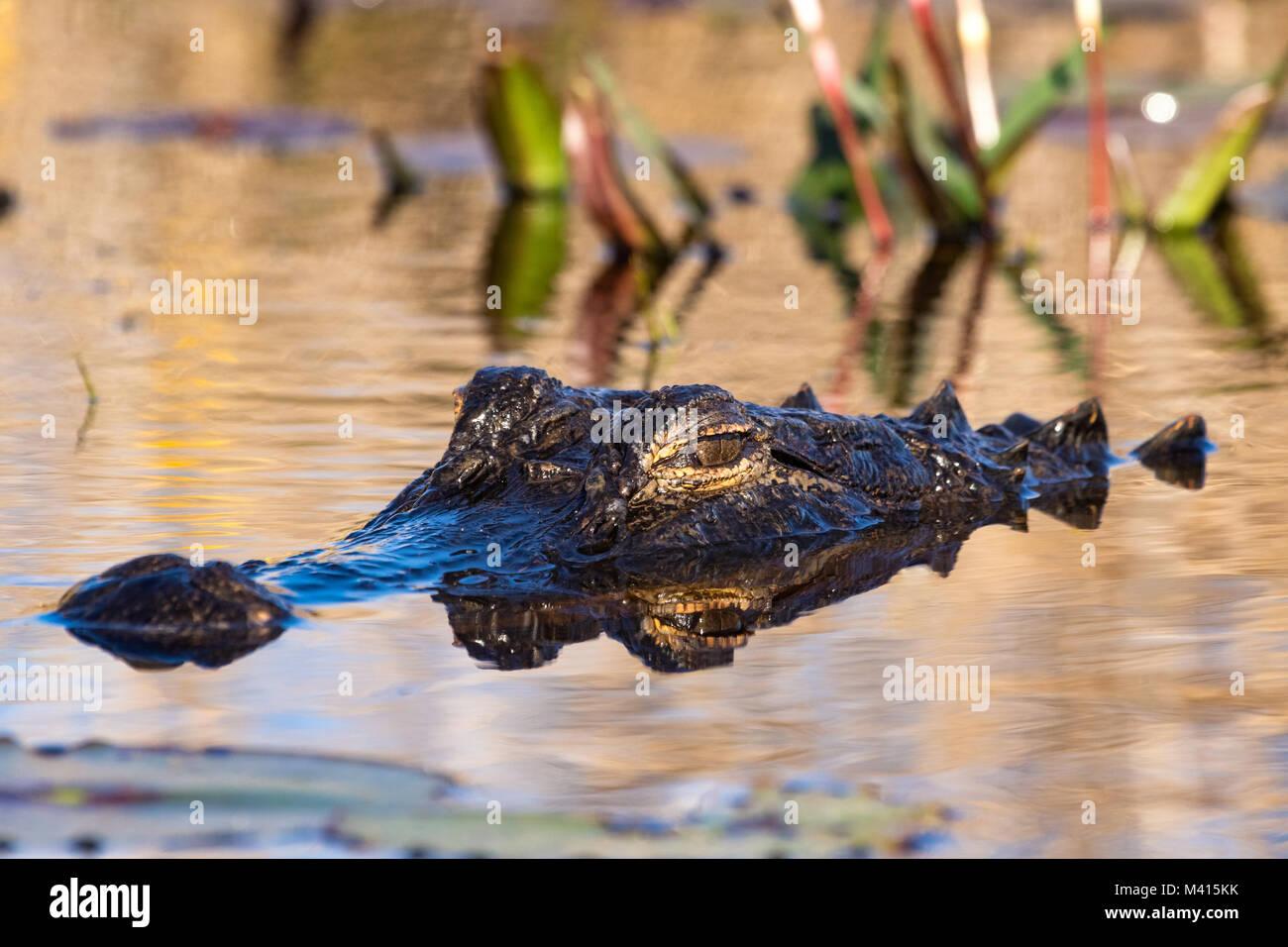 Un alligator Alligator mississippiensis) (faible pose dans le marais. Photo Stock