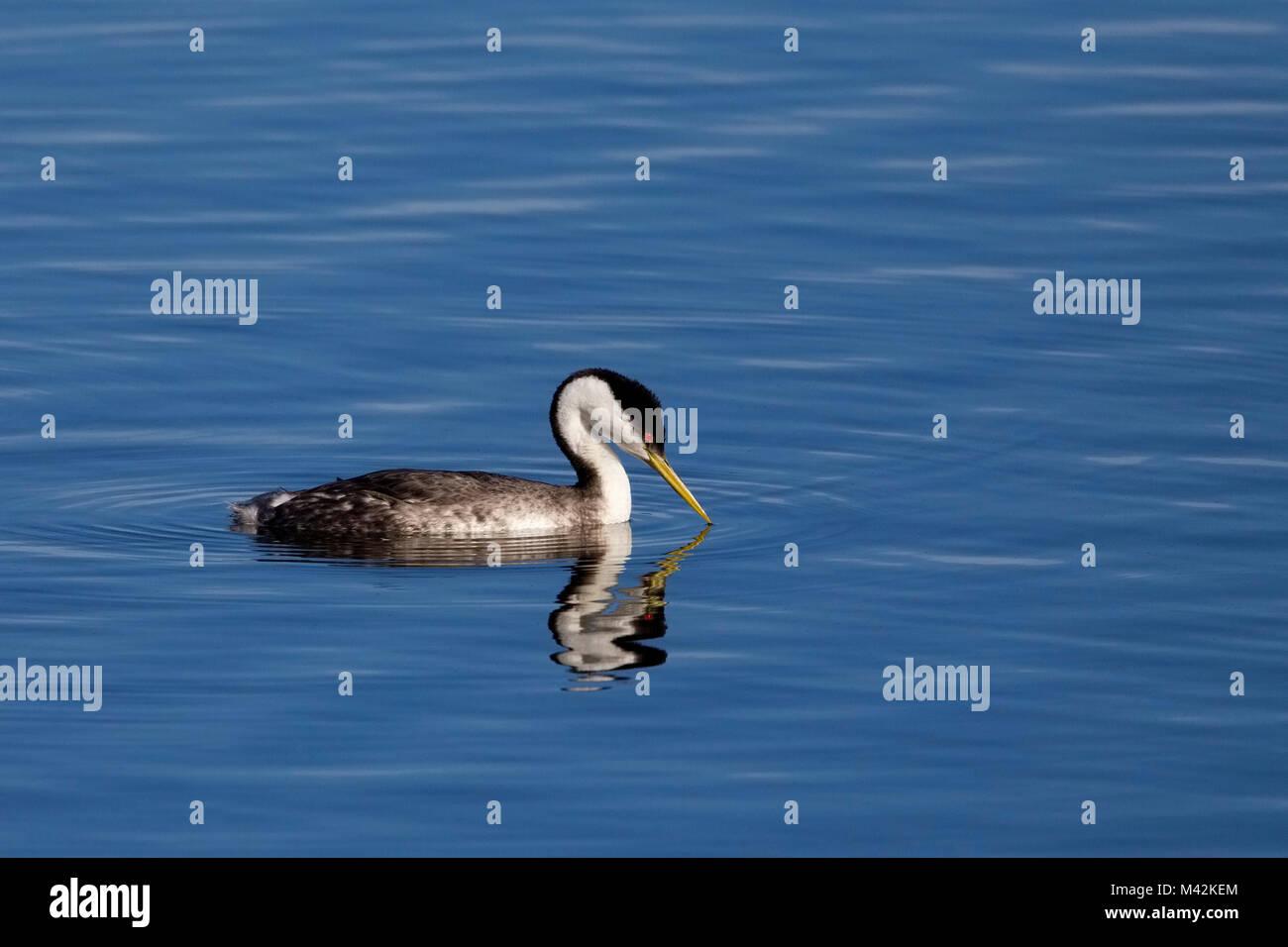 Grèbe élégant sur l'eau bleu vif Photo Stock