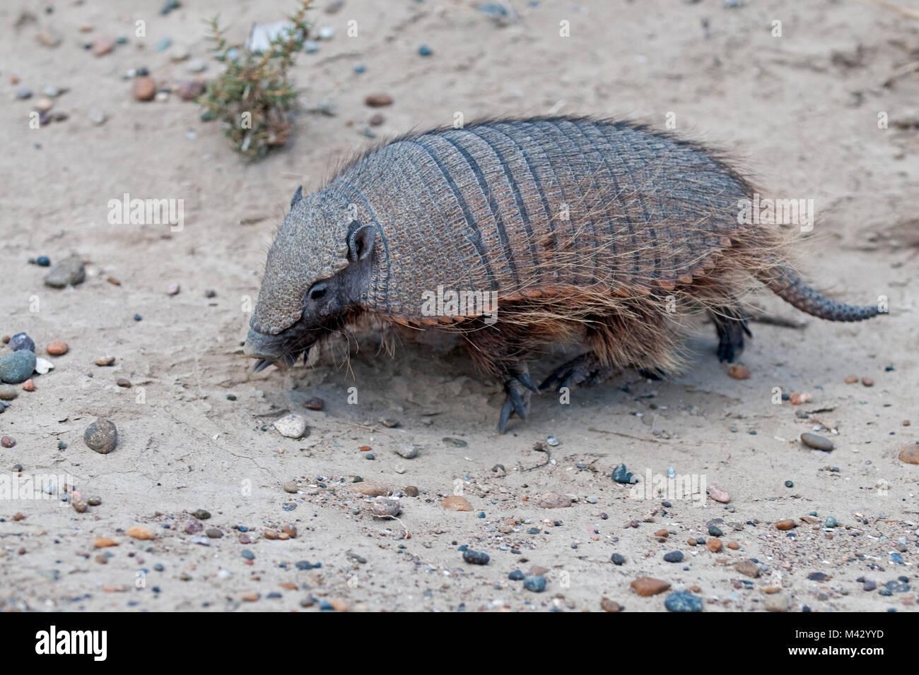 Armadillo d'Amérique du Sud à pied à travers le sable à Peninsula Valdes patagonie aregntina Photo Stock
