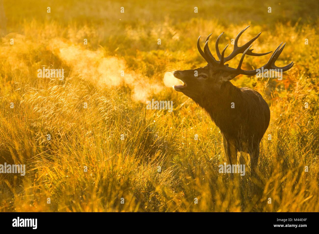 Red Deer (Cervus elaphus). Stag beuglant au lever du soleil pendant le rut, Richmond Park, Londres, Angleterre Photo Stock