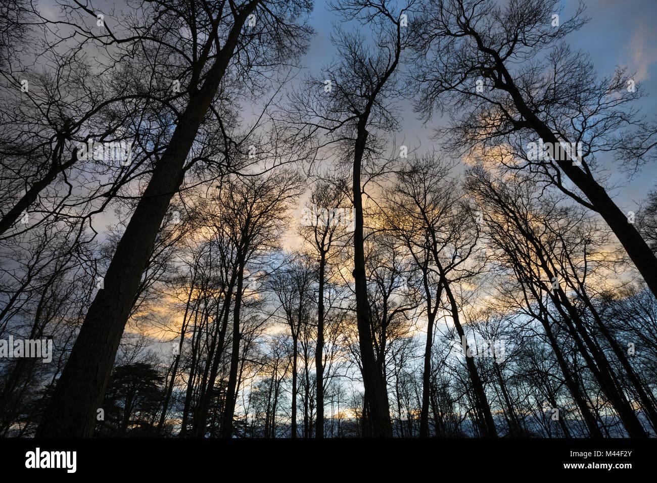 Branches dénudées des arbres au coucher du soleil d'hiver, Cotswolds, Gloucestershire, Angleterre, Photo Stock