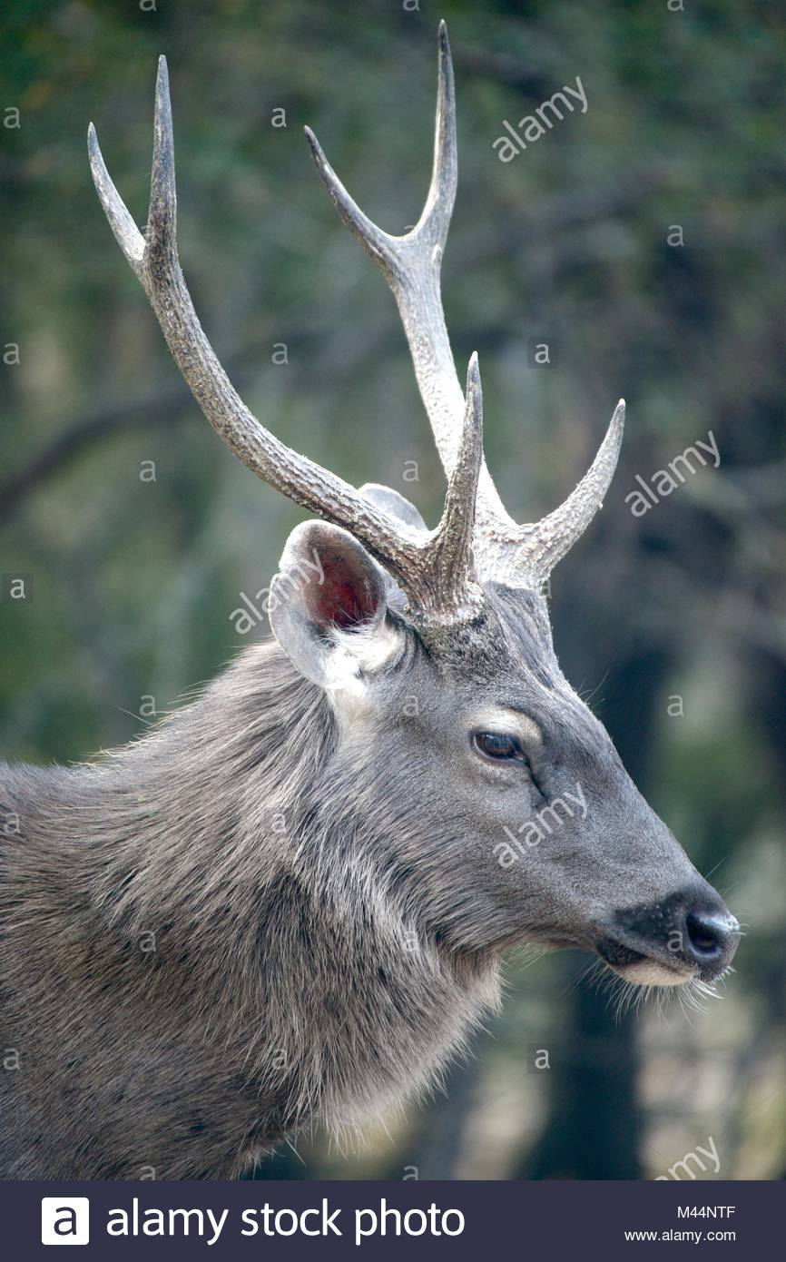 Profil des cerfs sambar mâle Photo Stock