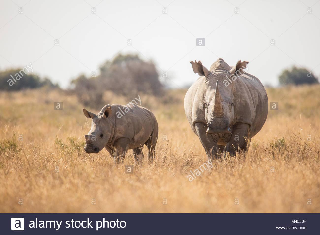 Rhino Photo Stock