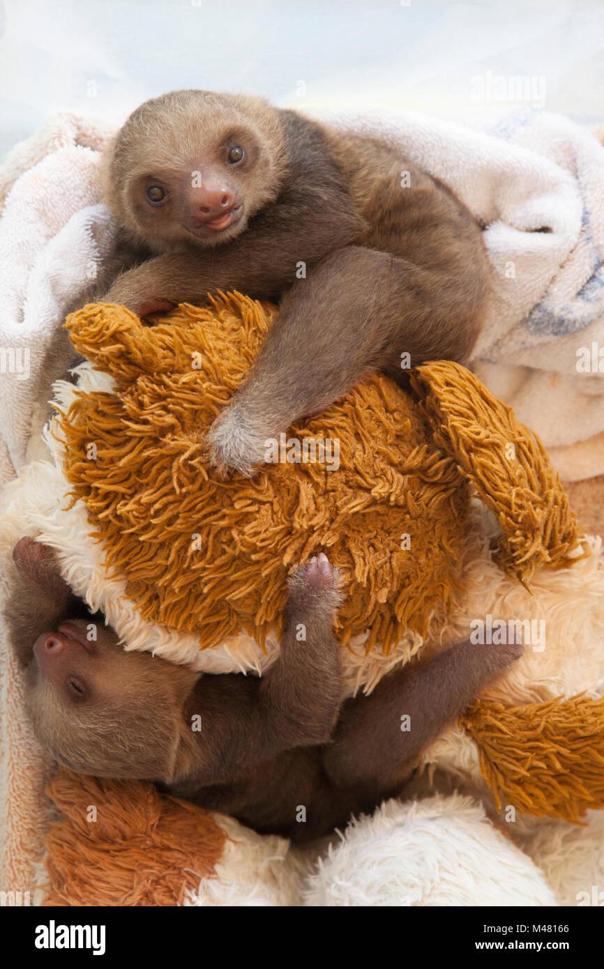 Hoffmann orphelin deux doigts paresseux (Choloepus hoffmanni) pendant la lecture du temps au Sanctuaire Sloth Photo Stock