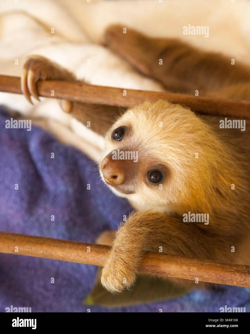 Les deux orphelines Hoffmann-toed Sloth (Choloepus hoffmanni) pendant la lecture du temps au Sanctuaire Sloth Photo Stock