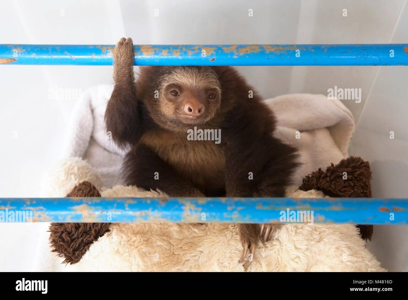 Les deux orphelines Hoffmann-toed Sloth bébé (Choloepus hoffmanni) play time en pépinière à Photo Stock