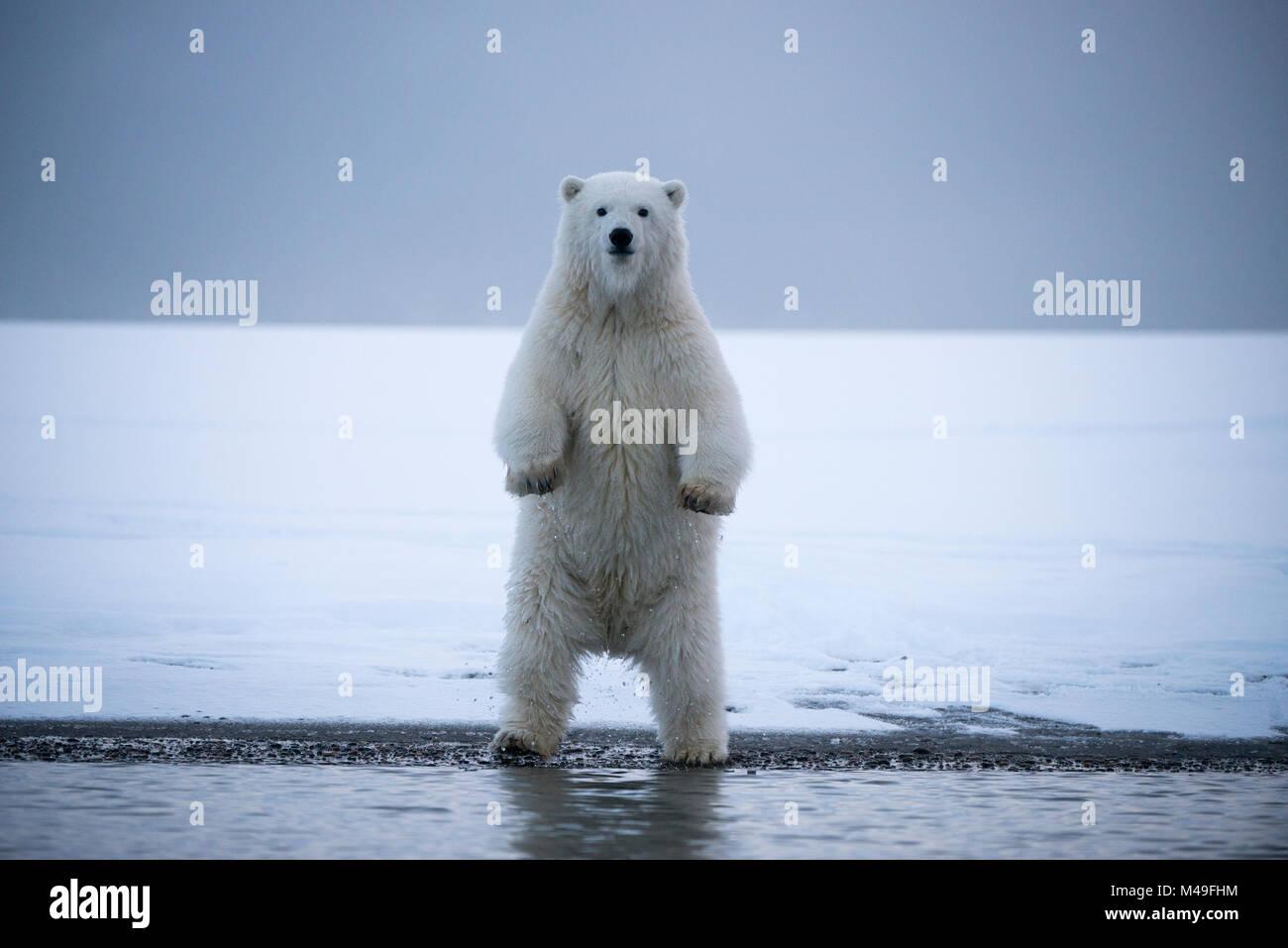 Les jeunes ours polaires (Ursus maritimus) debout sur les jambes, hing Bernard Spit, 1002, Arctic National Wildlife Photo Stock