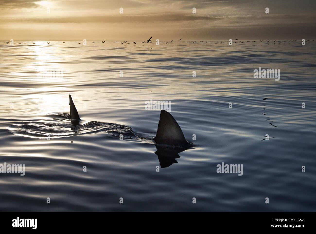 Les grands requins blancs (Carcharodon carcharias) avec palmes à surface de l'eau au coucher du soleil, Photo Stock