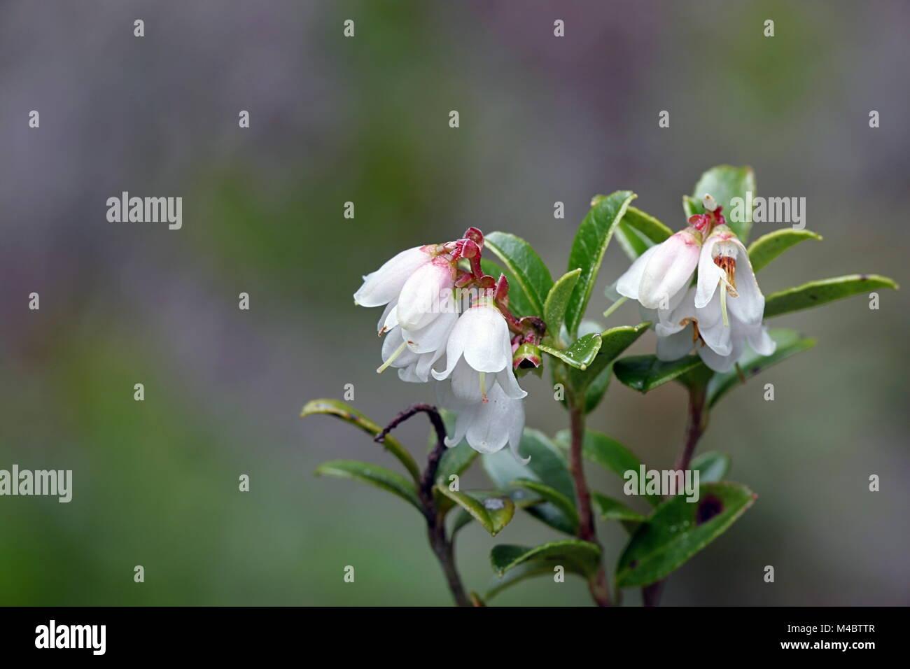Ou Airelle rouge airelle rouge, Vaccinium vitis-idaea Photo Stock
