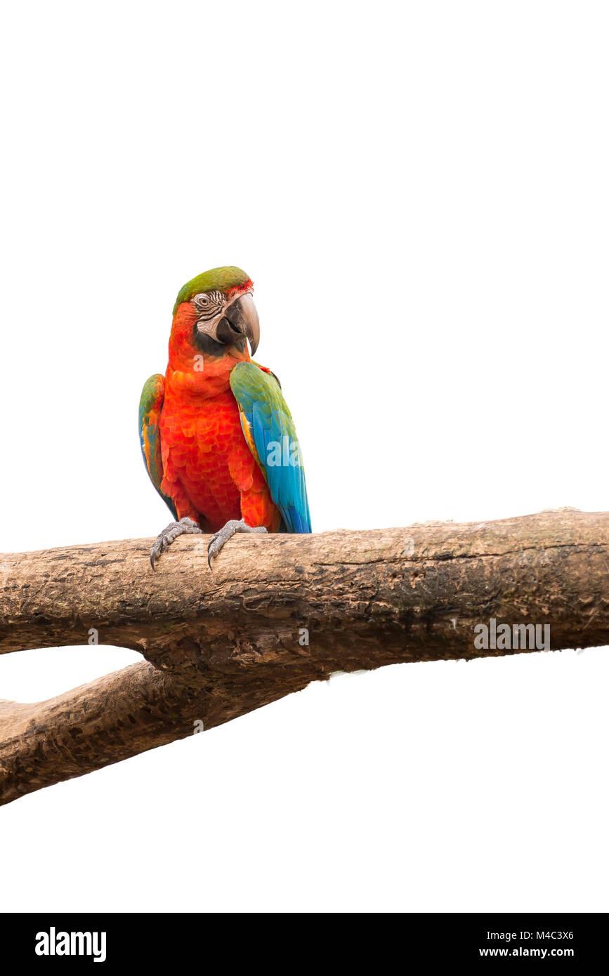 Perroquets ara sur fond blanc d'oiseaux isolés Banque D'Images