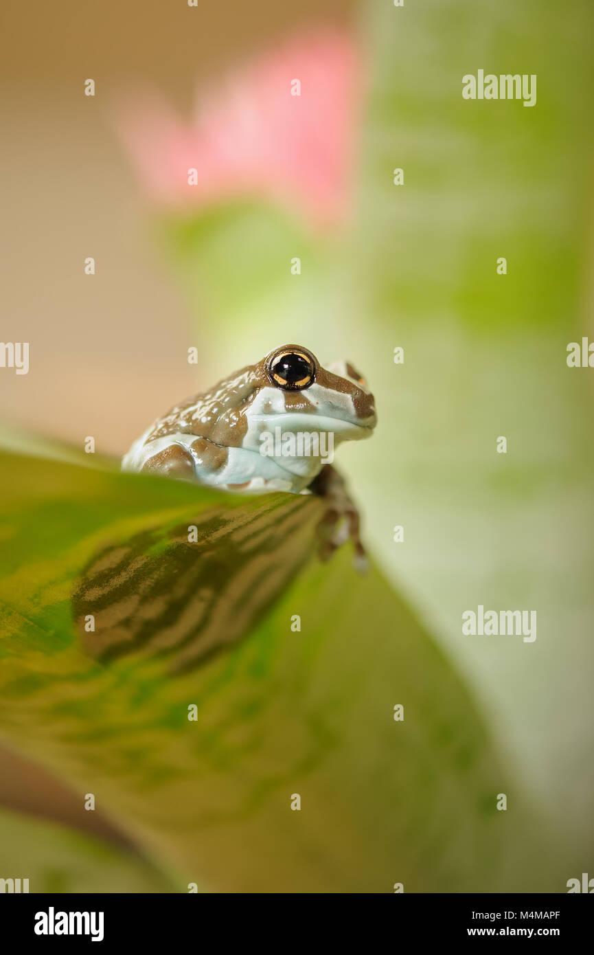 Golden Mission-eyed tree frog. Rainforrest amazonienne grenouille. Photo Stock