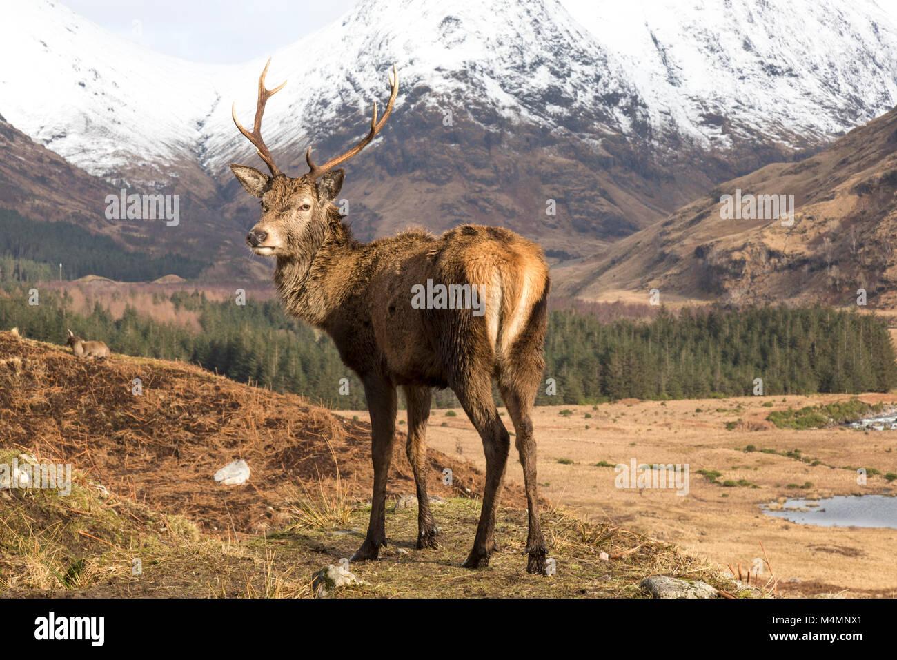 Wild Red Deer (Cervus elaphus) Stag en Glen Etive, en Écosse, au cours de l'hiver, avec une montagne en arrière-plan. Banque D'Images