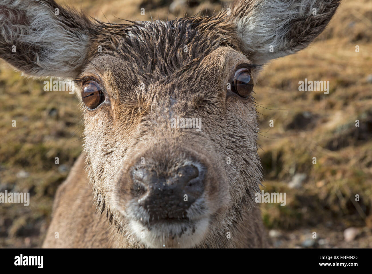 Close up visage d'une femme sauvage, ou hind, Red Deer (Cervus elaphus), avec le détail du nez, les yeux Photo Stock
