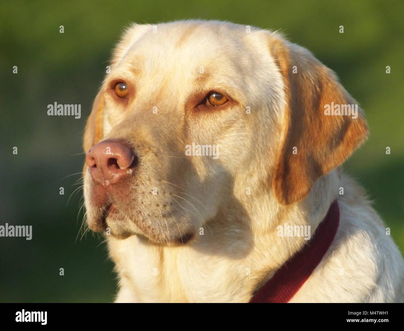 Golden Labrador Portrait dans le soleil Banque D'Images