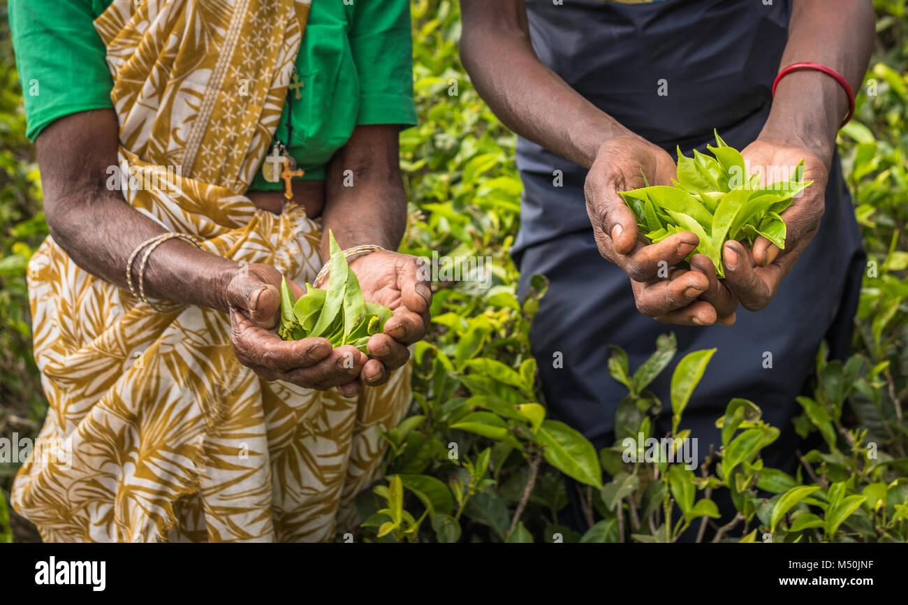 Les cueilleurs de thé à Nuwara Eliya, Sri Lanka Photo Stock