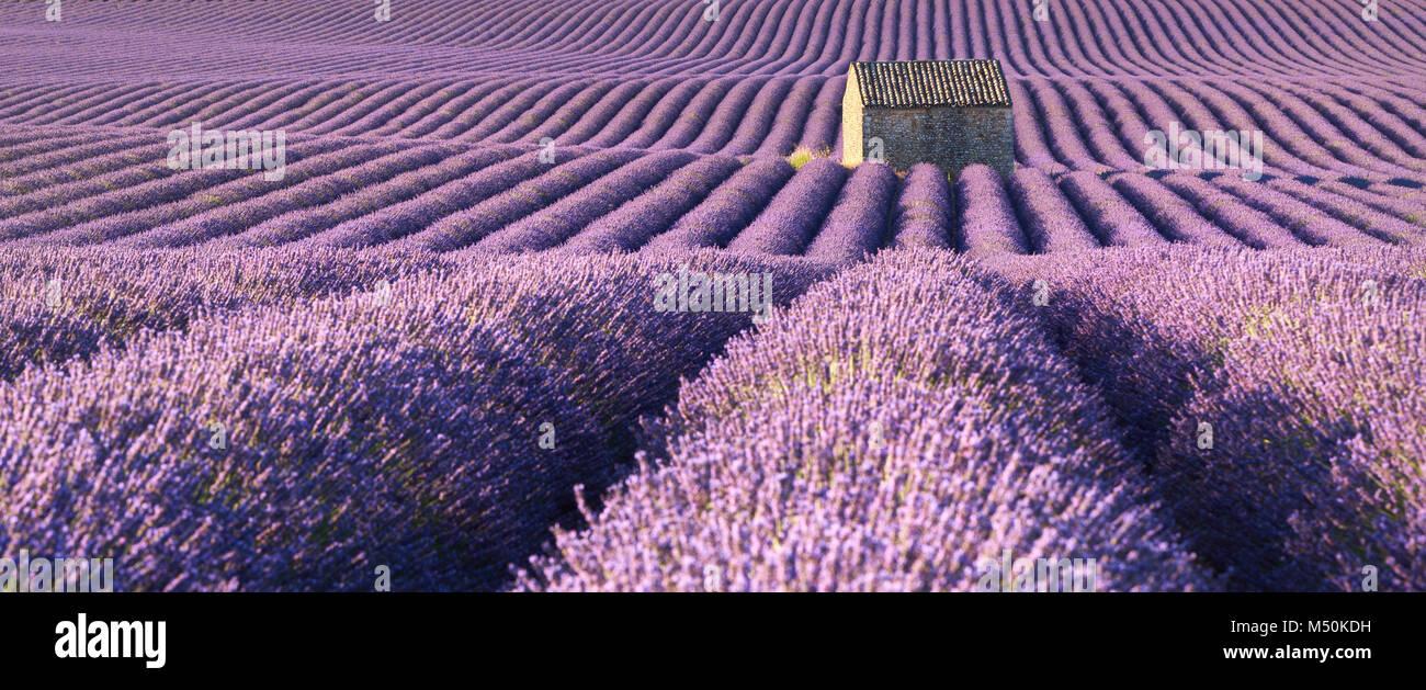 Vue panoramique sur champs de lavande à Valensole avec maison en pierre en été. Alpes de Haute Provence, Photo Stock
