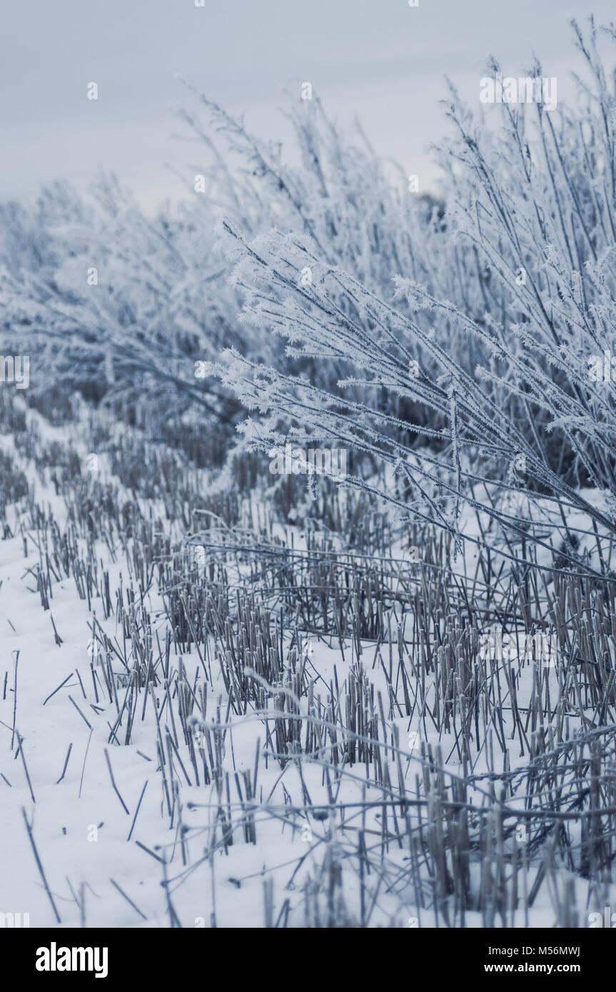 Champ de céréales congelé. L'humeur de l'après-midi Bleu. Photo Stock