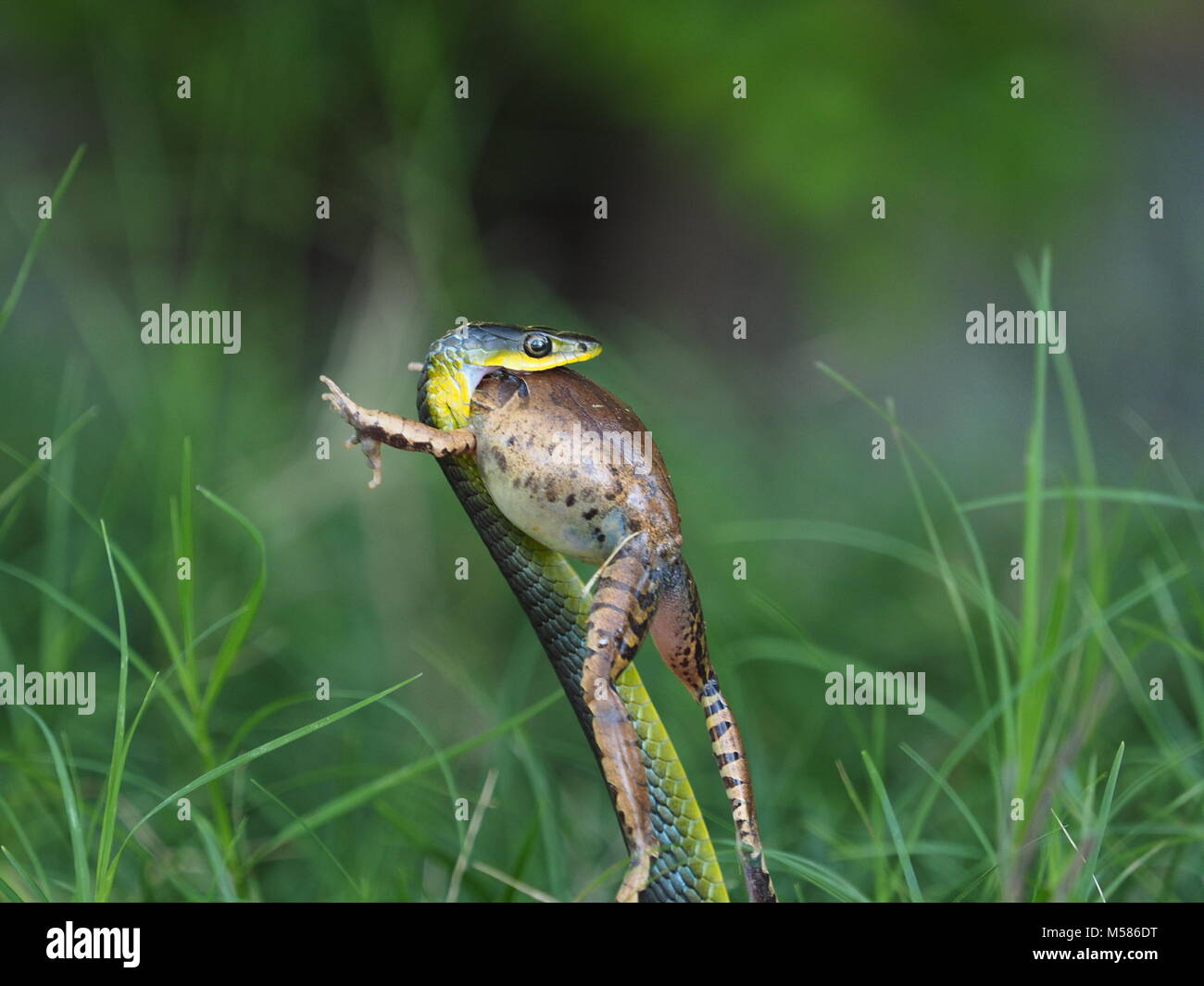 Tree snake eating frog Photo Stock