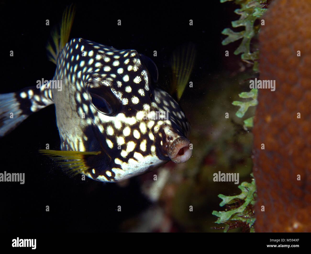Smooth trunkfish (Lactophrys triqueter, Perlen-Kofferfisch), Brauner, Niederländische Antillen Banque D'Images