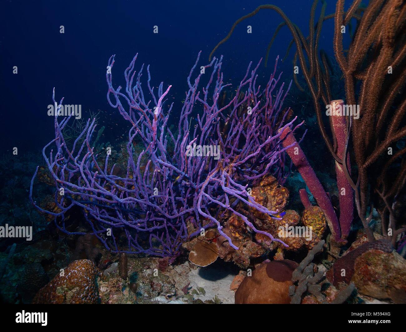 Pore ligne éponge corde, Seil Schwamm (Aplysina Cauliformis) Bonaire, Niederländische Antillen, Afrika, Atlantik Banque D'Images
