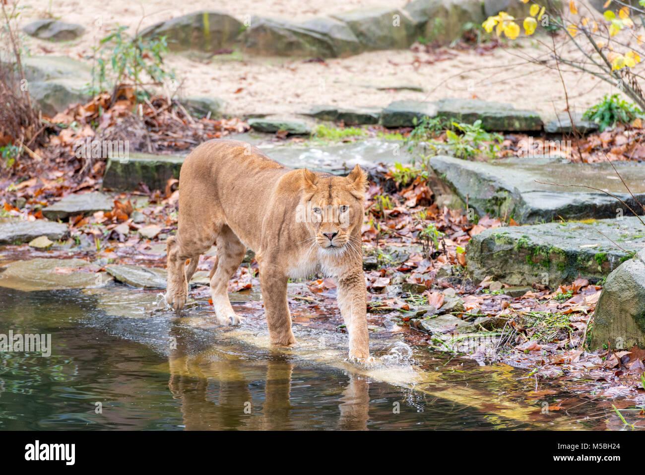 La femelle Maouli ant lion le Zoo d'Anvers Photo Stock