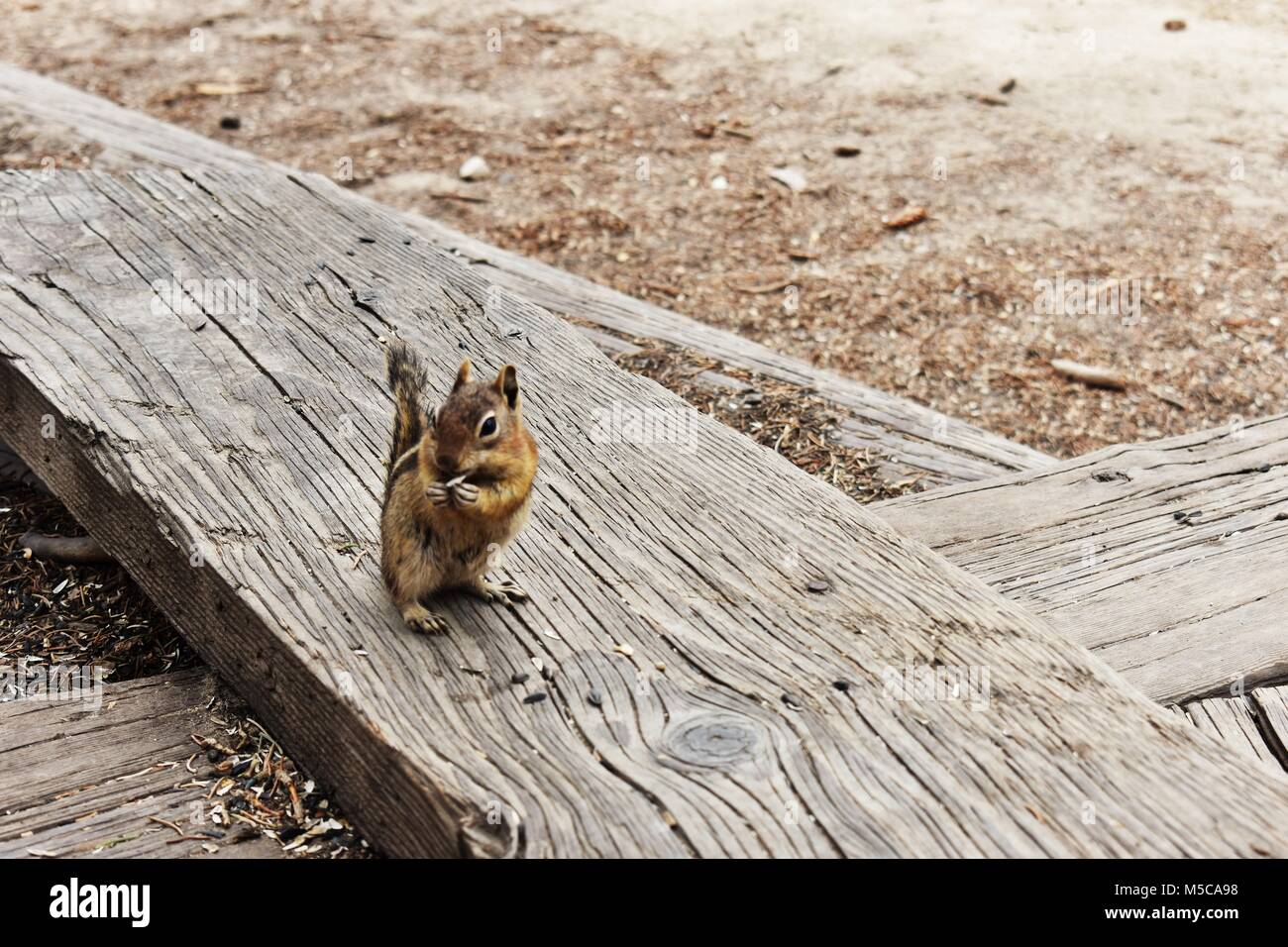 Grignotage Chipmunk Photo Stock