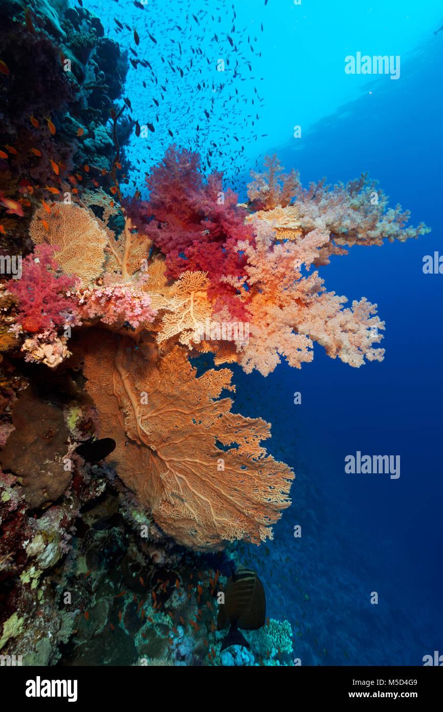 Les récifs coralliens, de grandes gorgones (Annella mollis), divers coraux mous (Alcyonacea), red, Red Sea, Photo Stock