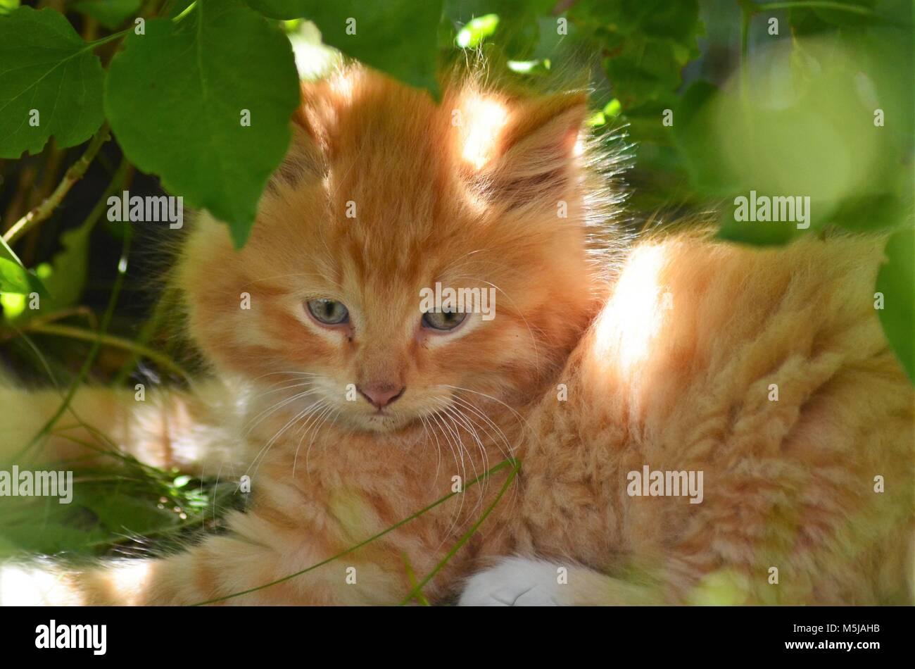Un petit tigre orange coloré bleu eyed chaton jouant sous un arbuste vert Banque D'Images
