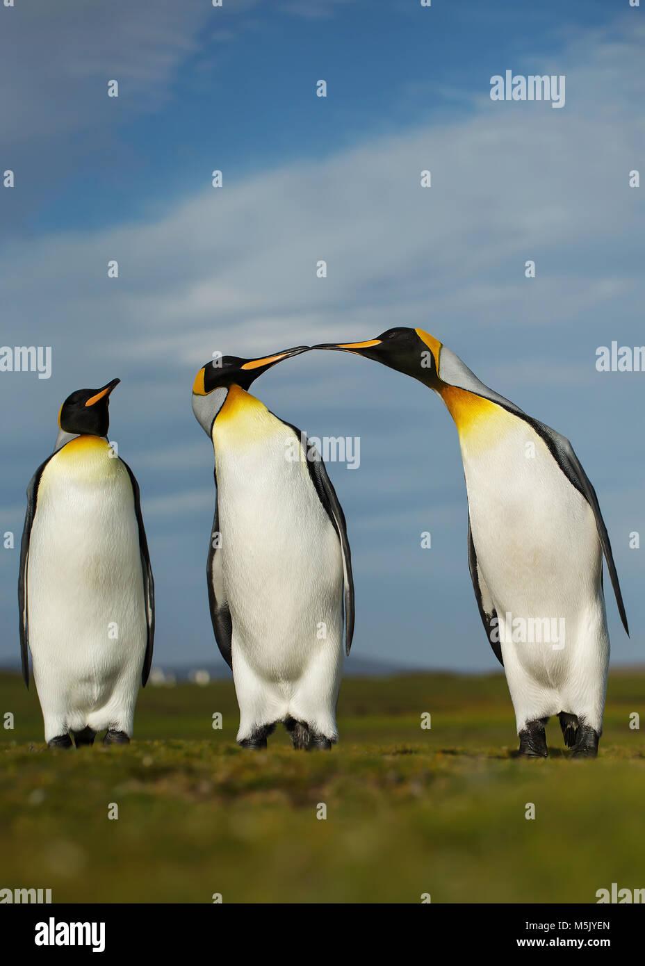 Trois manchots royaux affichant un comportement agressif pendant la saison des amours, îles Falkland. Photo Stock