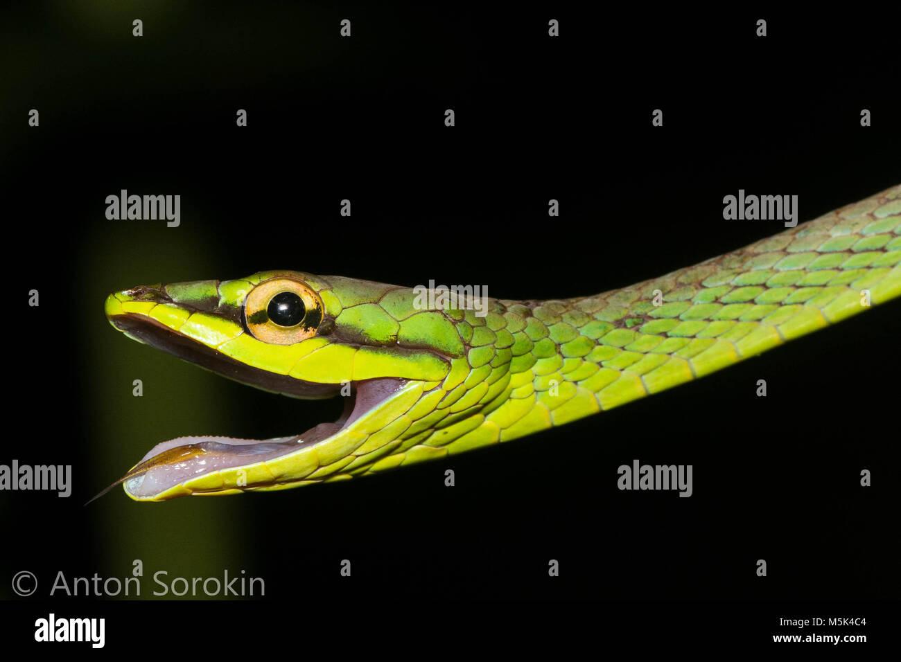 La serpent de vigne (Oxybelis brevirostris) est un colubridé inoffensif serpent d'Amérique du Sud. Banque D'Images