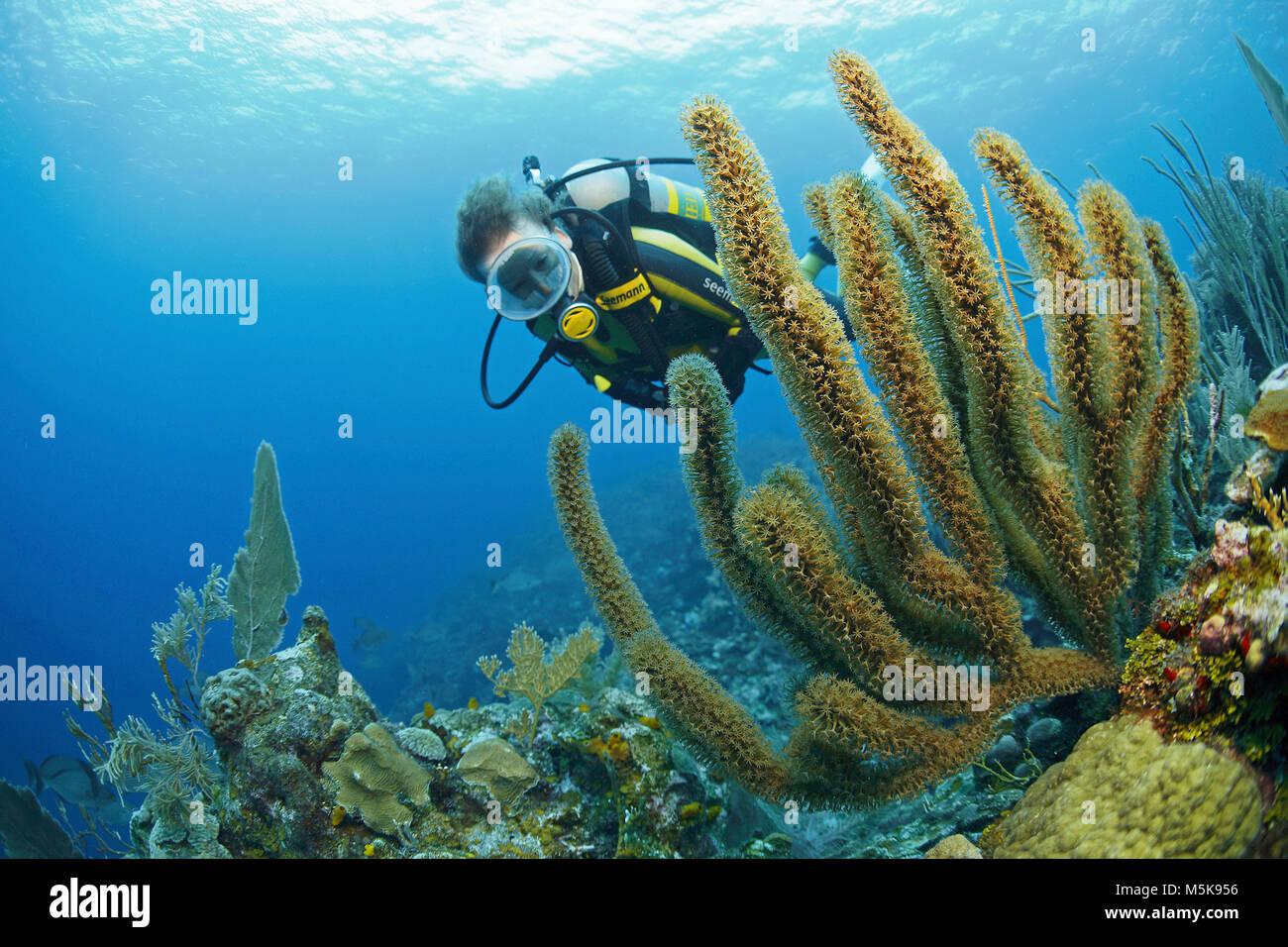 Scuba Diver à un pore-fente géant sea rod (Plexaurella nutans), des récifs coralliens des Caraïbes Photo Stock