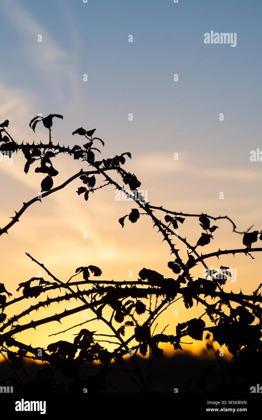 Rubus fruticosus. Blackberry épineuses tiges bush au lever du soleil dans la campagne anglaise. Silhouette Photo Stock