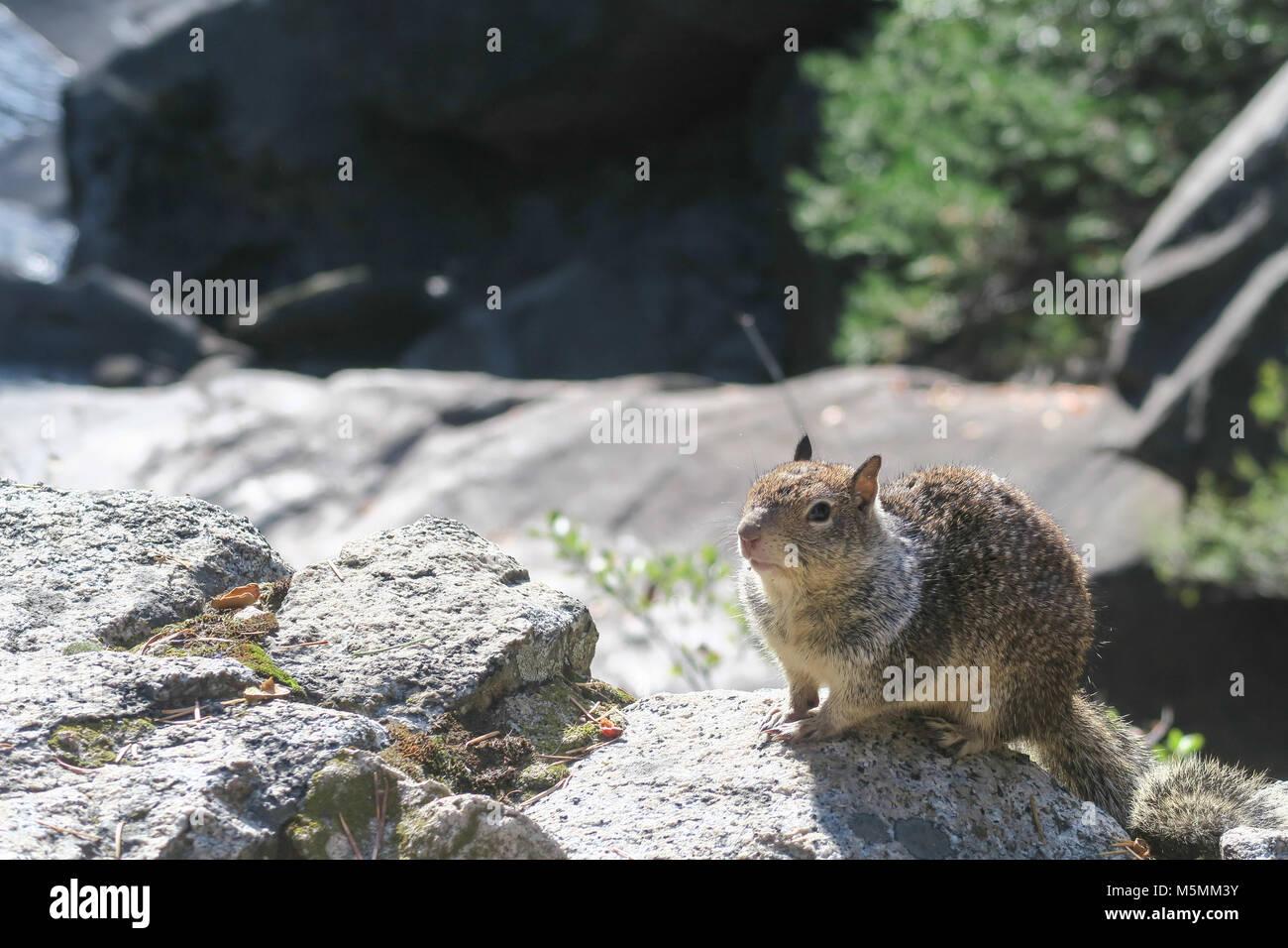 Écureuil dans Yosemite National Park Photo Stock