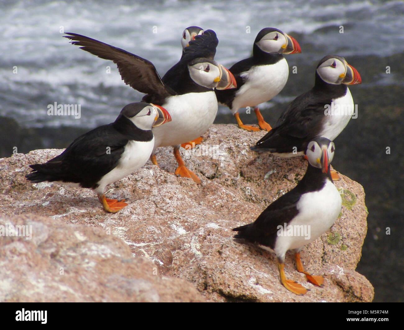 Les macareux . Ces oiseaux à bec coloré que la même apparence que les pingouins connaissent des baisses Photo Stock