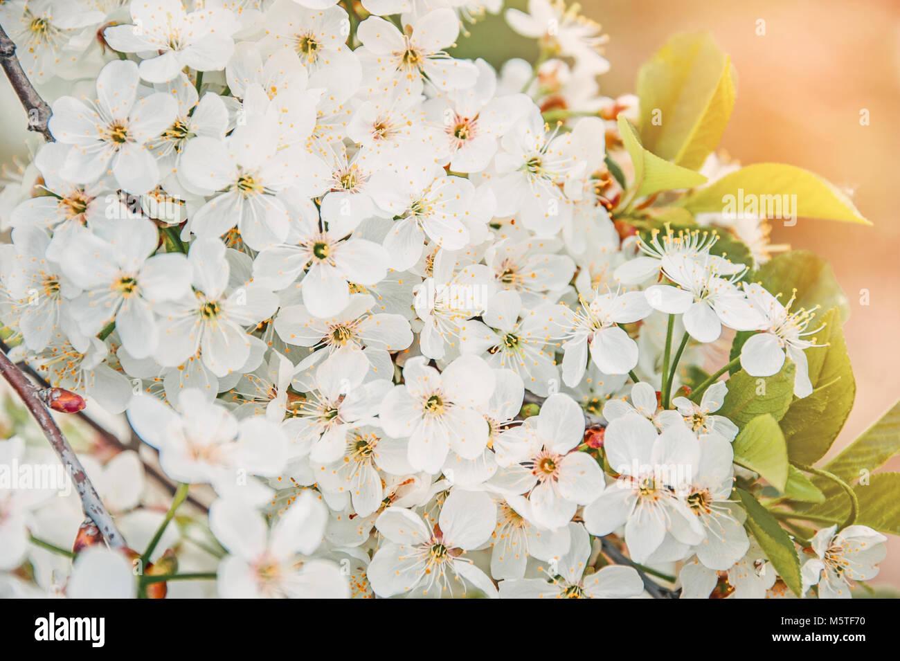 Branche De L Arbre De Printemps Avec De Petites Fleurs Blanches L