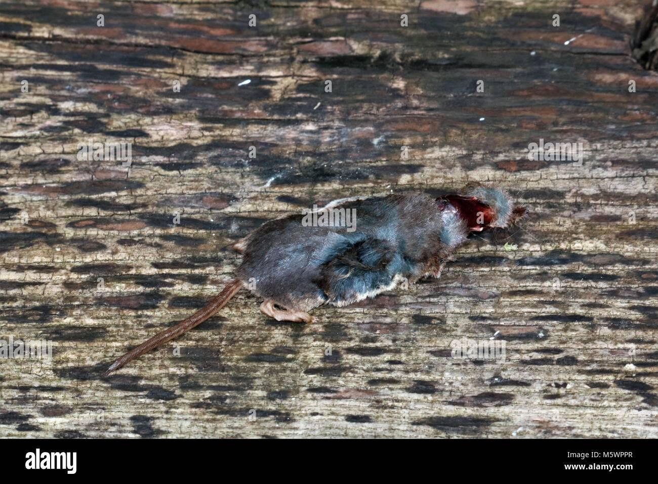 Dead mole sur bois Photo Stock