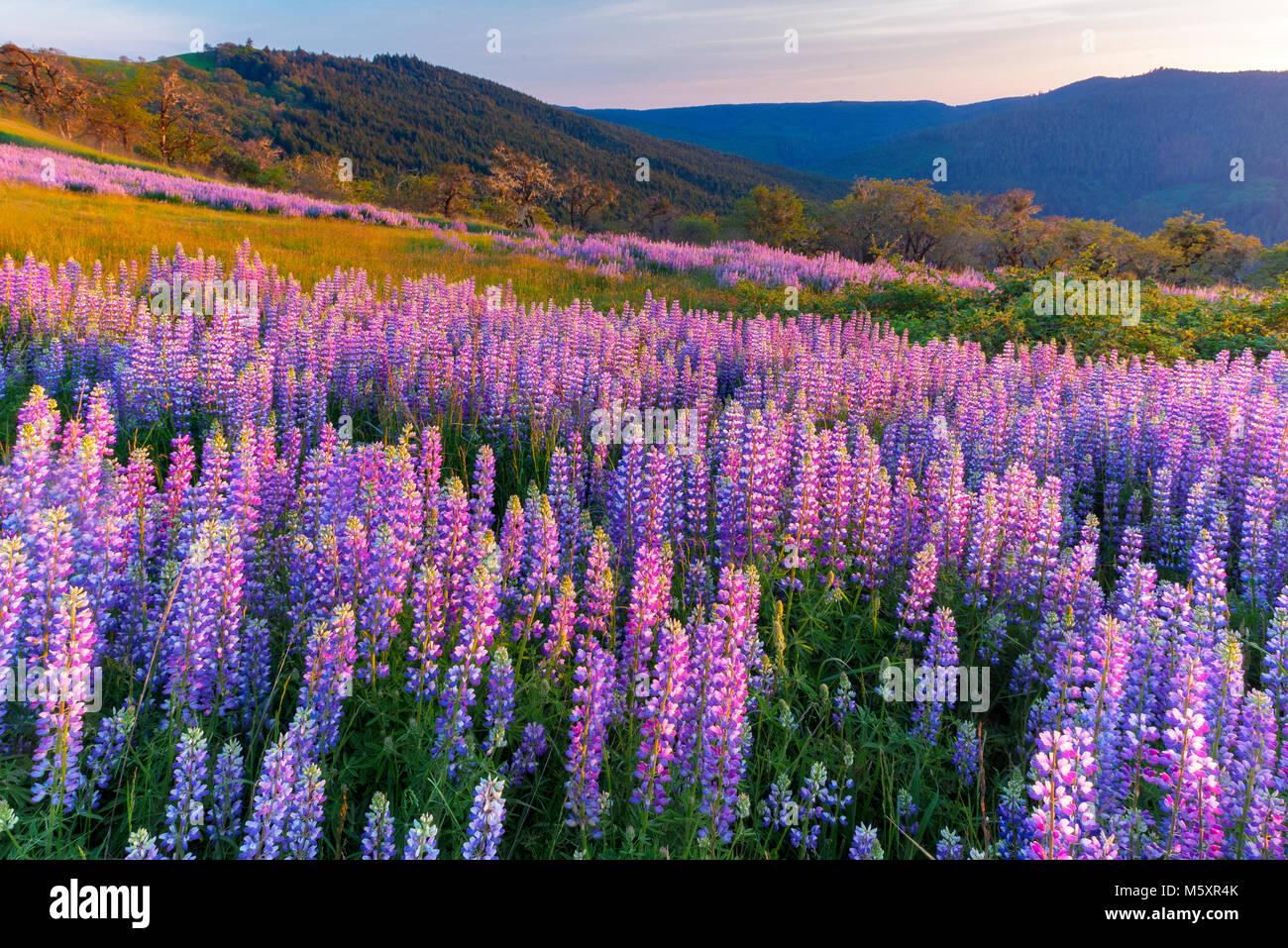 Coucher du soleil, lupin, Childs Hill Prairie, Redwood National Park, Californie Photo Stock